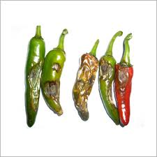 anthracnose chilli